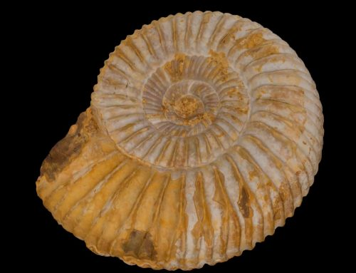 Jurassic fossil of the Perisphinctes gen.