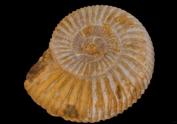 Skamenelina ulitníka rodu Perisphinctes z obdobia Jura